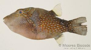 (Canthigaster amboinensis - MBIO278.4)  @14 [ ] Unspecified (default): All Rights Reserved  Unspecified Unspecified
