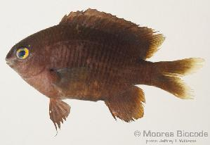 (Stegastes fasciolatus - MBIO299.4)  @14 [ ] Unspecified (default): All Rights Reserved  Unspecified Unspecified