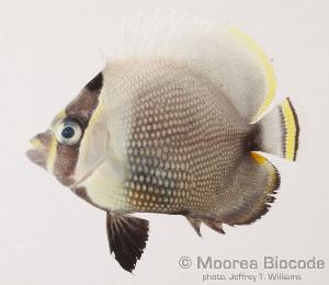 (Chaetodon reticulatus - MBIO50.4)  @14 [ ] Unspecified (default): All Rights Reserved  Unspecified Unspecified