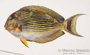 (Acanthurus lineatus - MBIO919.4)  @14 [ ] Unspecified (default): All Rights Reserved  Unspecified Unspecified