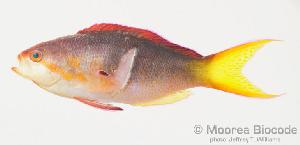 (Pseudanthias olivaceus - MBIO1846.4)  @13 [ ] Unspecified (default): All Rights Reserved  Unspecified Unspecified