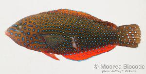 (Anampses caeruleopunctatus - MBIO1849.4)  @15 [ ] Unspecified (default): All Rights Reserved  Unspecified Unspecified