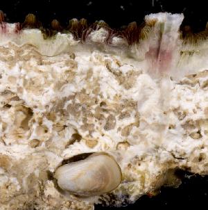 (Gastrochaenidae - MBIO3432.1)  @11 [ ] Unspecified (default): All Rights Reserved  Unspecified Unspecified