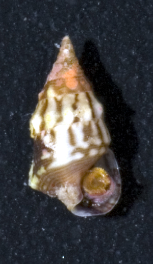 (Cerithium sp - MBIO3785.1)  @11 [ ] Unspecified (default): All Rights Reserved  Unspecified Unspecified