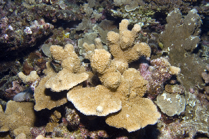 (Montipora sp. 1 - MBIO3533.1)  @11 [ ] Unspecified (default): All Rights Reserved  Unspecified Unspecified