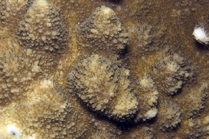 (Acropora palmerae - MBIO3752.1)  @11 [ ] Unspecified (default): All Rights Reserved  Unspecified Unspecified