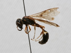 "(Trachypus patagonensis - MACN-Bar-Ins-ct 01681)  @14 [ ] Copyright (2011) MACN Museo Argentino de Ciencias Naturales ""Bernardino Rivadavia"""