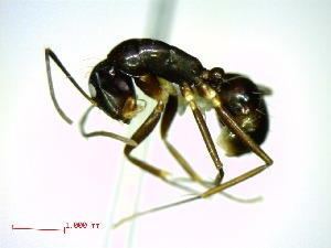(Camponotus christi foersteri - casent0191593-D60)  @14 [ ] CreativeCommons - Attribution Non-Commercial Share-Alike (2011) M. Alex Smith Biodiversity Institute of Ontario