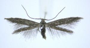 (Coleophora concolorella - jflandry0001)  @14 [ ] Copyright (2007) Jean-Francois Landry Canadian National Collection