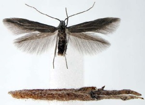 (Coleophora vacciniivorella - jflandry1595)  @14 [ ] Copyright (2007) Jean-Francois Landry Canadian National Collection