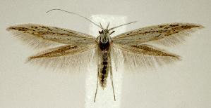 (Coleophora seminella - jflandry2390)  @15 [ ] Copyright (2007) Jean-Francois Landry Canadian National Collection