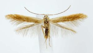 (Coleophora lentella - jflandry2660)  @14 [ ] Copyright (2007) Unspecified Canadian National Collection
