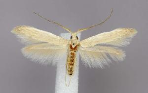 (Coleophora parthenica - jflandry3026)  @15 [ ] Copyright (2007) Jean-Francois Landry Canadian National Collection