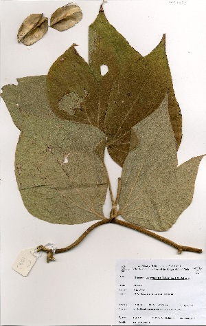 (Dioscorea dregeana - OM1465)  @11 [ ] No Rights Reserved  Unspecified Unspecified