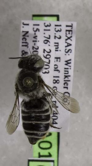 (Megachile chomskyi - CCDB-03768 A01)  @13 [ ] CreativeCommons - Attribution Non-Commercial Share-Alike (2010) Cory S. Sheffield York University