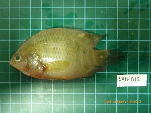(Nandidae - CMGG-2012-443)  @14 [ ] CreativeCommons (by-nc-sa) (2013) CMGG CMGG