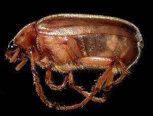 (Phyllophaga tumulosa - MEL026)  @14 [ ] CreativeCommons - Attribution Non-Commercial Share-Alike (2011) Adriana Castro El Colegio de la Frontera Sur