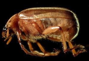 (Phyllophaga tumulosa - MEL028)  @14 [ ] CreativeCommons - Attribution Non-Commercial Share-Alike (2011) Adriana Castro El Colegio de la Frontera Sur