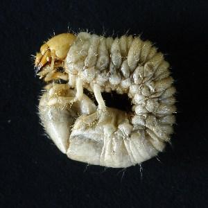 (Phyllophaga pilosula - MEL083)  @12 [ ] CreativeCommons - Attribution Non-Commercial Share-Alike (2011) Adriana Castro El Colegio de la Frontera Sur