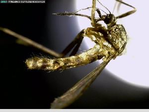 """(Aedes triseriatus - AIOM-055)  @15 [ ] CreativeCommons (2014) Aldo I. Ortega Morales Universidad Autónoma Agraria """"Antonio Narro"""""""