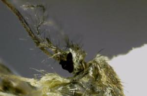 """(Aedes brelandi - AIOM-056)  @11 [ ] CreativeCommons (2014) Aldo I. Ortega Morales Universidad Autónoma Agraria """"Antonio Narro"""""""