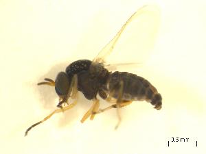 (Simulium exiguum s.l - BIOUG01784-C10)  @14 [ ] CreativeCommons - Attribution Non-Commercial Share-Alike (2012) BIO Photography Group Biodiversity Institute of Ontario