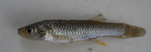 (Fundulus philpisteri - MXIV0777)  @14 [ ] Unspecified (default): All Rights Reserved  Unspecified Unspecified