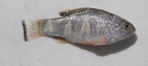 (Cyprinodontiformes - MXIV0785)  @15 [ ] Unspecified (default): All Rights Reserved  Unspecified Unspecified
