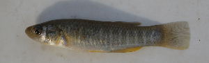 (Fundulus grandis - MXIV0808)  @14 [ ] Unspecified (default): All Rights Reserved  Unspecified Unspecified