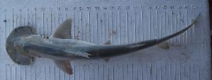 (Sphyrna tiburo - MXIV0836)  @12 [ ] Unspecified (default): All Rights Reserved  Unspecified Unspecified