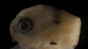 (Bairdiella ronchus - MFL644-D12)  @11 [ ] CreativeCommons – Attribution Non-Commercial Share-Alike (2012) Selene Morales El Colegio de la Frontera Sur. Unidad Chetumal