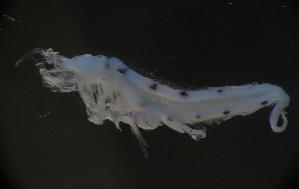 (Brotulotaeniinae - MFLE4720)  @11 [ ] CreativeCommons - Attribution Non-Commercial Share-Alike (2012) Selene Morales El Colegio de la Frontera Sur. Unidad Chetumal
