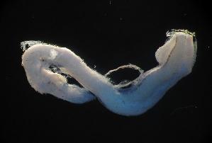 (Melanostomiidae - MFLE4732)  @11 [ ] CreativeCommons - Attribution Non-Commercial Share-Alike (2012) Selene Morales El Colegio de la Frontera Sur. Unidad Chetumal