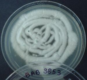(Aspergillus lentulus - BAB 3853)  @11 [ ] Copyright (2014) Gujarat Biodiversity Gene Bank, GSBTM, DST, GoG Gujarat Biodiversity Gene Bank, GSBTM, DST, GoG