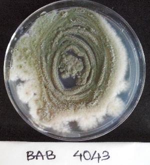 (Aspergillus variecolor - BAB 4043)  @11 [ ] Copyright (2014) Gujarat Biodiversity Gene Bank, GSBTM, DST, GoG Gujarat Biodiversity Gene Bank, GSBTM, DST, GoG