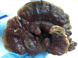 (Ganoderma tropicum - BAB 4988)  @11 [ ] Copyright (2015) Gujarat Biodiversity Gene Bank, GSBTM, DST, GoG Gujarat Biodiversity Gene Bank, GSBTM, DST, GoG