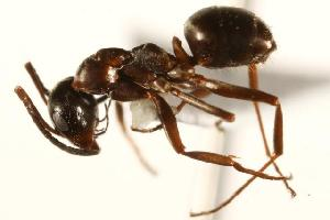 (Formica neorufibarbis_3 - CHU06-ANT-046)  @14 [ ] Unspecified (default): All Rights Reserved  Unspecified Unspecified
