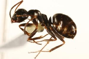(Formica neorufibarbis_2 - CHU06-ANT-048)  @15 [ ] Unspecified (default): All Rights Reserved  Unspecified Unspecified