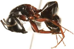 (Camponotus herculeanus - CHU06-ANT-057)  @15 [ ] Unspecified (default): All Rights Reserved  Unspecified Unspecified