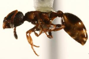 (Leptothorax canadensis - CHU06-ANT-087)  @15 [ ] Unspecified (default): All Rights Reserved  Unspecified Unspecified