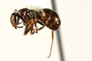 (Formica neorufibarbis - CHU06-ANT-223)  @15 [ ] Unspecified (default): All Rights Reserved  Unspecified Unspecified