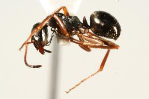 (Formica neorufibarbis_2 - CHU06-ANT-246)  @15 [ ] Unspecified (default): All Rights Reserved  Unspecified Unspecified
