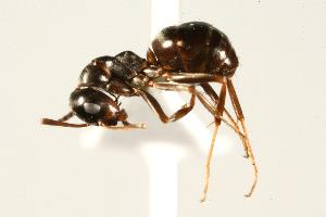 (Formica neorufibarbis_3 - CHU06-ANT-252)  @14 [ ] Unspecified (default): All Rights Reserved  Unspecified Unspecified