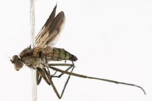 (Hydrophorinae - CHU05-FLY-235)  @14 [ ] CreativeCommons - Attribution Non-Commercial Share-Alike (2010) BIO Photography Group Biodiversity Institute of Ontario