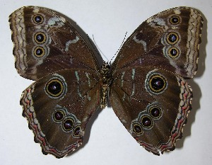 (Morpho helenor - 08-SRNP-320)  @14 [ ] CreativeCommons - Attribution Non-Commercial Share-Alike (2009) Daniel H. Janzen Guanacaste Dry Forest Conservation Fund