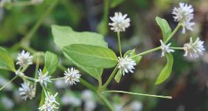(Alternanthera pubiflora - BioBot00747)  @11 [ ] CreativeCommons - Attribution Non-Commercial Share-Alike (2010) Daniel H. Janzen Guanacaste Dry Forest Conservation Fund