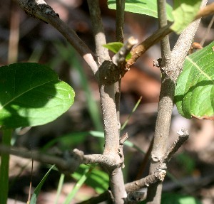 (Psidium - BioBot00847)  @11 [ ] CreativeCommons - Attribution Non-Commercial Share-Alike (2010) Daniel H. Janzen Guanacaste Dry Forest Conservation Fund