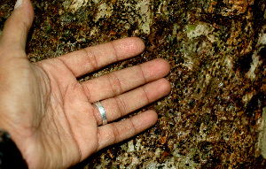 (Cinnamomum triplinerve - BioBot01170)  @11 [ ] CreativeCommons - Attribution Non-Commercial Share-Alike (2010) Daniel H. Janzen Guanacaste Dry Forest Conservation Fund