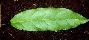 (Passiflora pittieri - BioBot01211)  @11 [ ] CreativeCommons - Attribution Non-Commercial Share-Alike (2010) Daniel H. Janzen Guanacaste Dry Forest Conservation Fund