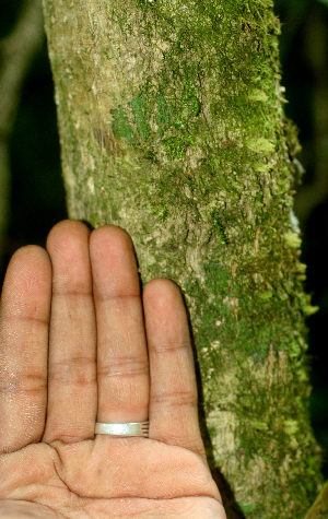 (Koanophyllon - BioBot01440)  @11 [ ] CreativeCommons - Attribution Non-Commercial Share-Alike (2010) Daniel H. Janzen Guanacaste Dry Forest Conservation Fund